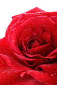 Red rose drops — Stock Photo