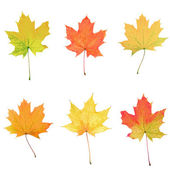 Maple leaves collage — Stock Photo