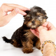 Royalty-Free Stock Photo: Yorkshire Terrier puppy (3 months) in front of a white backgroun