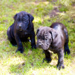 Cane corso puppy — Stock Photo #6331361