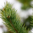Stock Photo: Branch of pine