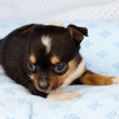 Portrait of a cute purebred puppy chihuahua in the puppy-home — Stock Photo #6336868
