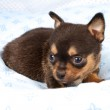Portrait of a cute purebred puppy chihuahua in the puppy-home — Stock Photo #6337936