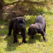 Cane corso puppy — Stock Photo #6337952
