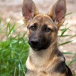 German shepherd in front of a natural green background — Stock Photo