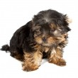 Yorkshire Terrier puppy (3 months) in front of a white backgroun — Stock Photo