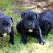 Cane corso puppy — Stock Photo #6339208