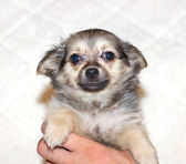 Small chihuahua puppy — Stock Photo