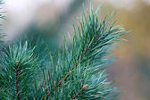 Branch of a pine — Stock Photo