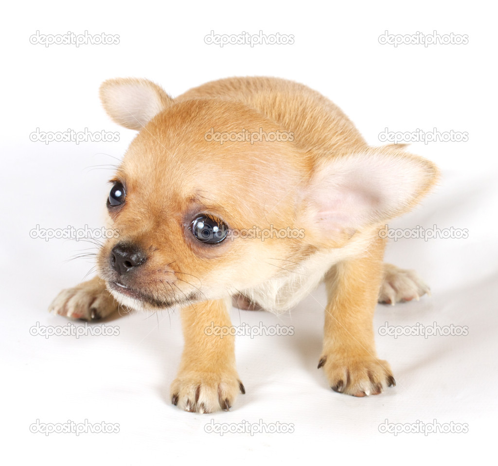 Cute small chihuahua puppy sitting on white looking at camera is ...