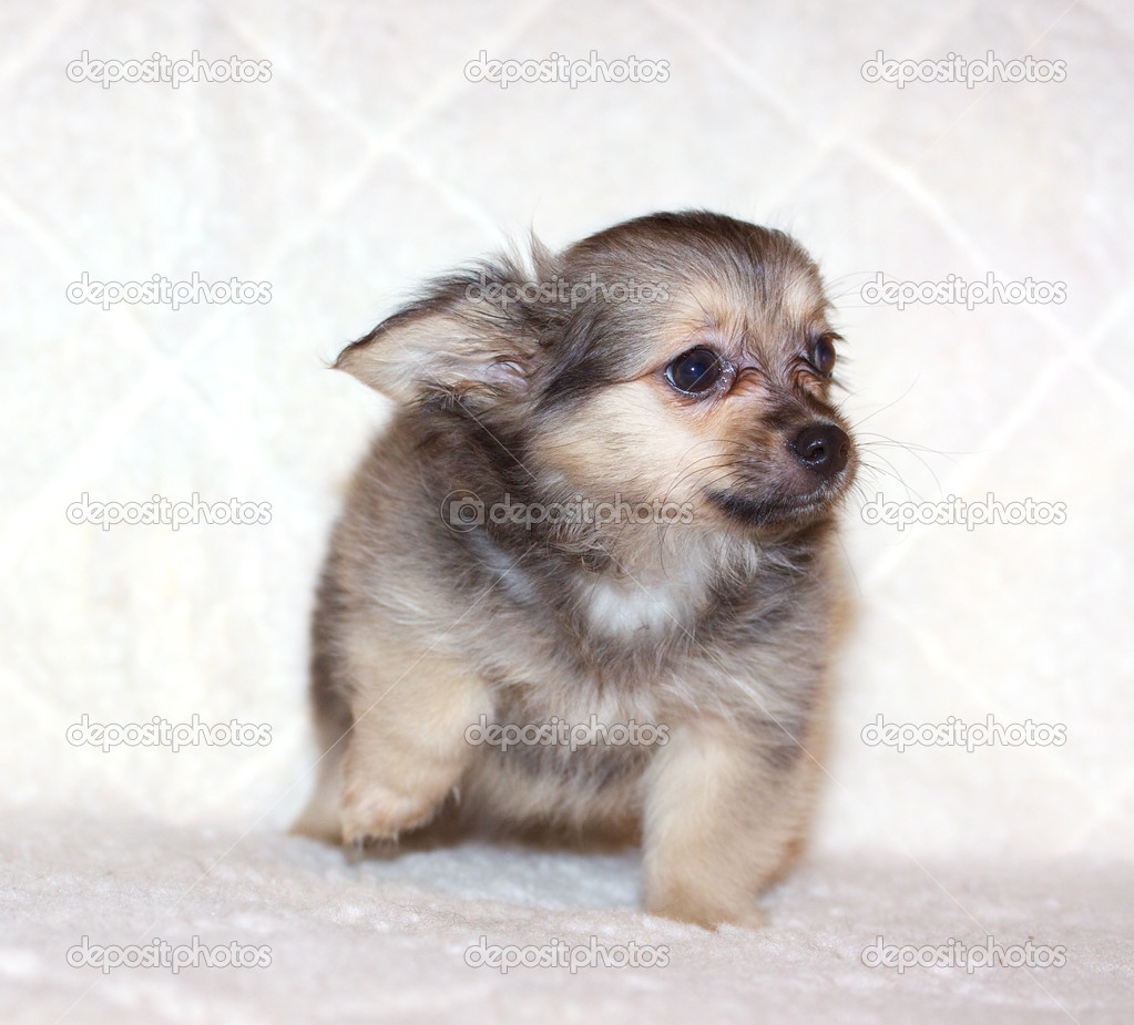 Small chihuahua puppy — Stock Photo #6330566