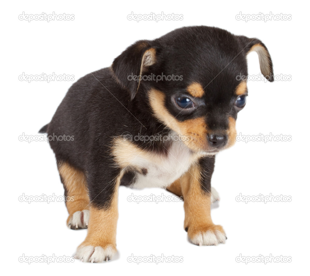 Cute small chihuahua puppy sitting on white looking at camera isolated  Stock Photo #6330567