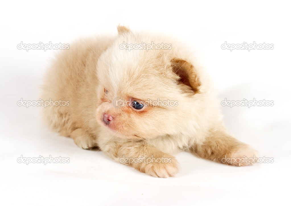 The puppy of the spitz dog in studio — Stock Photo #6330571
