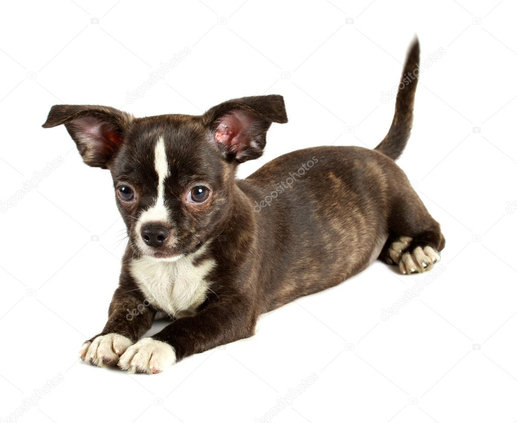 Cute small chihuahua puppy sitting on white looking at camera isolated — Stock Photo #6330574