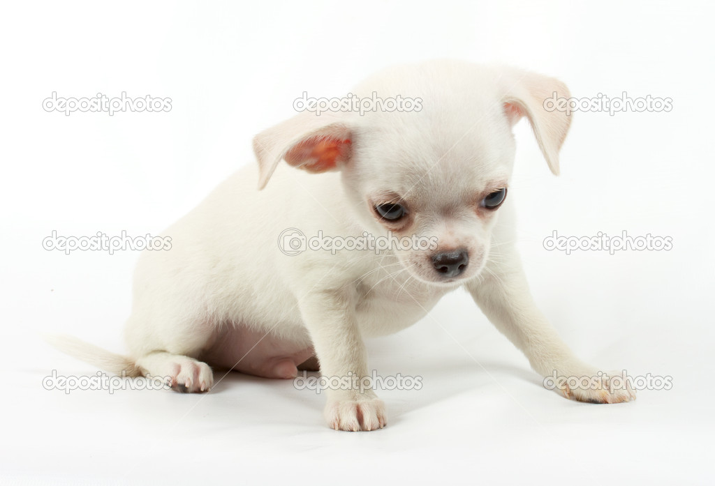 Cute small chihuahua puppy sitting on white looking at camera isolated — Stock Photo #6330576