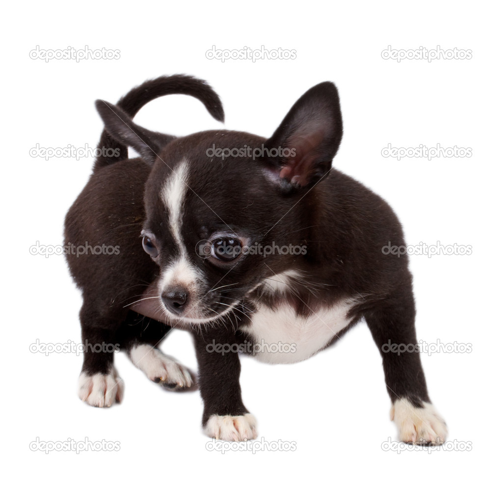Cute small chihuahua puppy sitting on white looking at camera isolated — Stock Photo #6330578