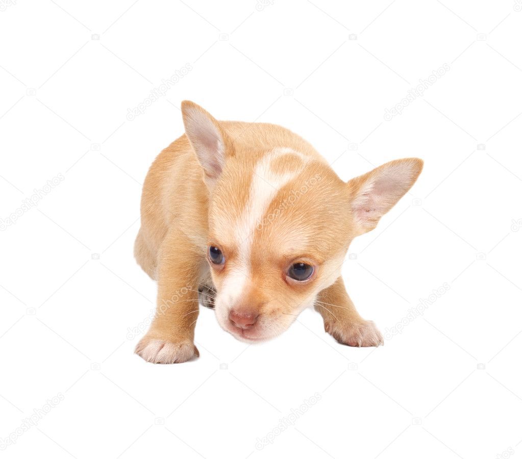 Portrait of a cute purebred puppy chihuahua in front of white background — Stock Photo #6330821