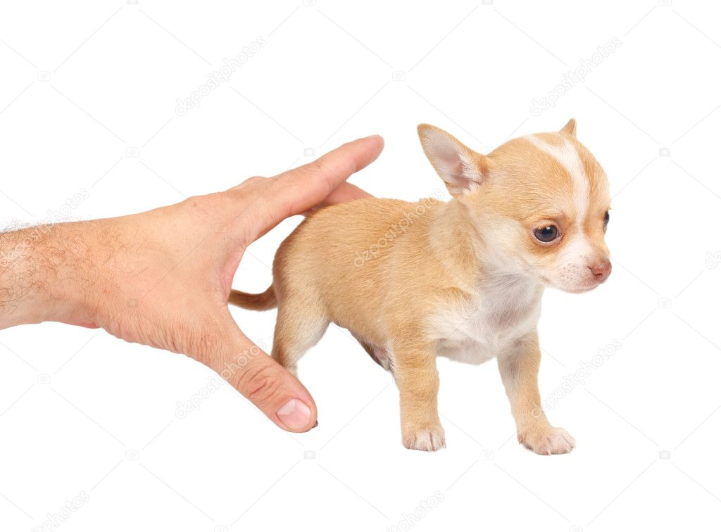 Portrait of a cute purebred puppy chihuahua in front of white background  Stock Photo #6330824