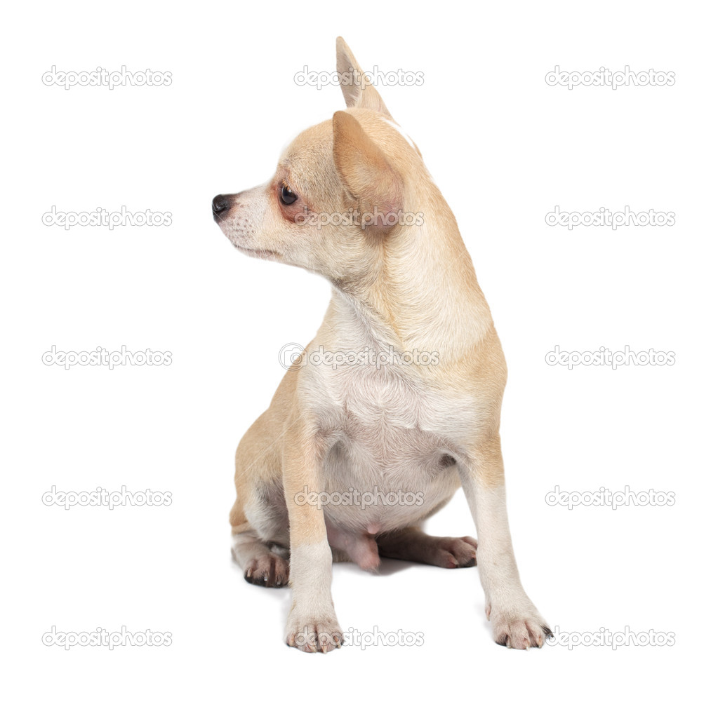 Portrait of a cute purebred puppy chihuahua in front of white background — Lizenzfreies Foto #6330828