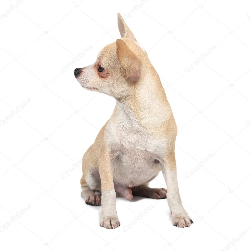 Portrait of a cute purebred puppy chihuahua in front of white background — Photo #6330828