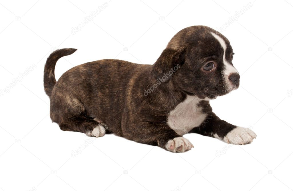 Portrait of a cute purebred puppy chihuahua in front of white background — Stock Photo #6330829
