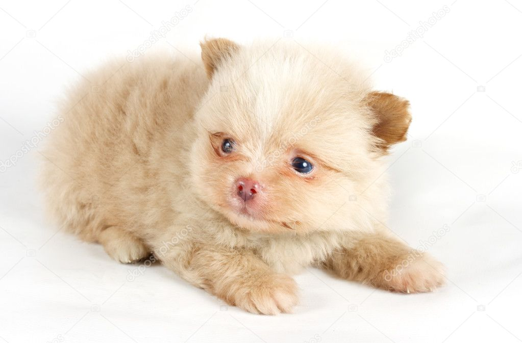 The puppy of the spitz dog in studio — Stock Photo #6330834