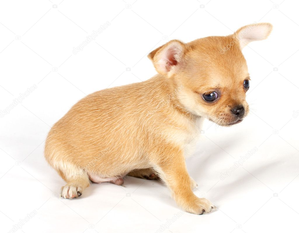 Cute small chihuahua puppy sitting on white looking at camera isolated — Stock Photo #6330839