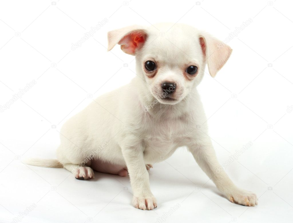 Cute small chihuahua puppy sitting on white looking at camera isolated — Stock Photo #6330848