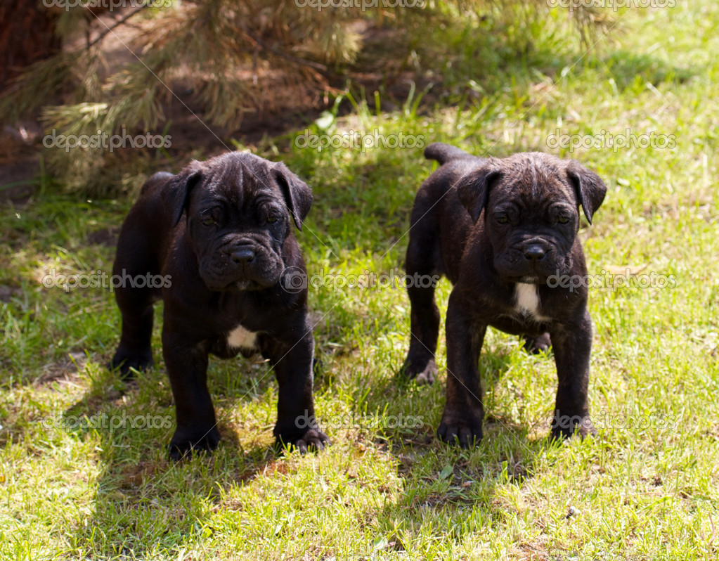 Cane corso puppy  Stock Photo #6330853
