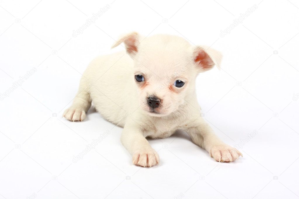 Small chihuahua puppy on the white background — Stock Photo #6332664