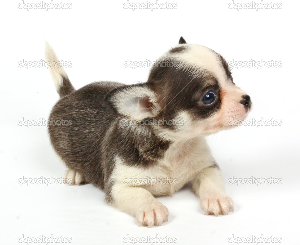 Small chihuahua puppy on the white background — Stock Photo #6332666