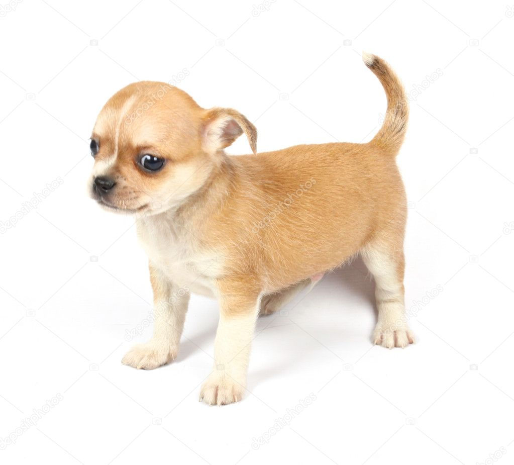 Small chihuahua puppy on the white background  Stock Photo #6332669