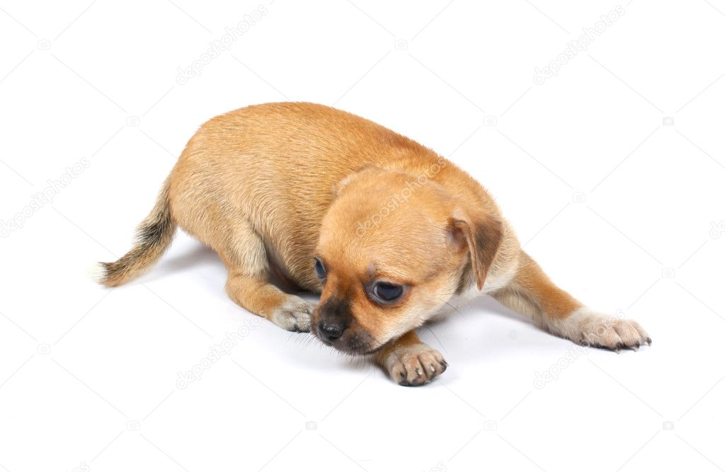 Small chihuahua puppy on the white background  Stock Photo #6332671