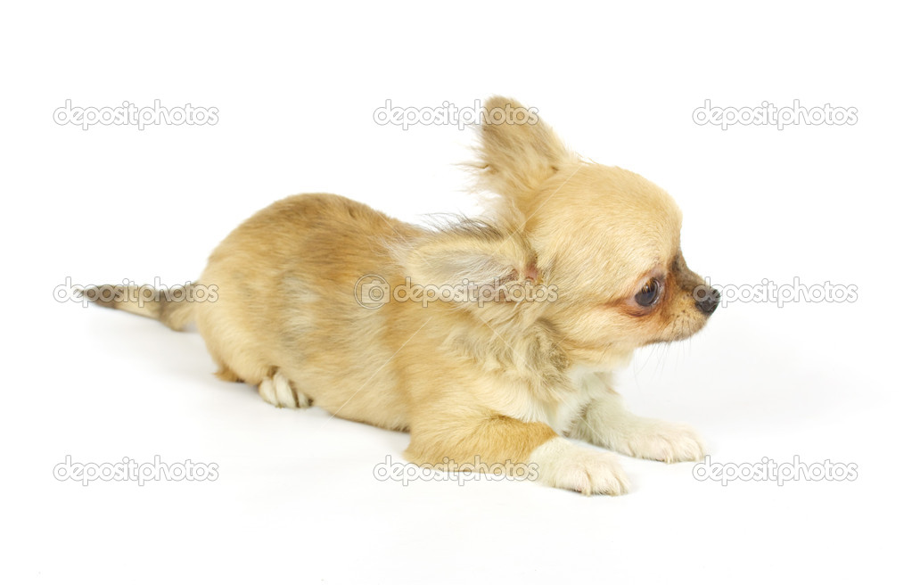 Small chihuahua puppy on the white background — Stock Photo #6332694