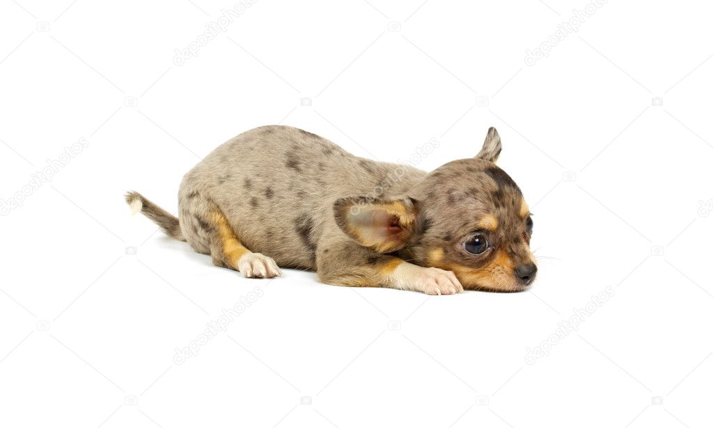 Chihuahua small puppy on the white  Stock Photo #6332809