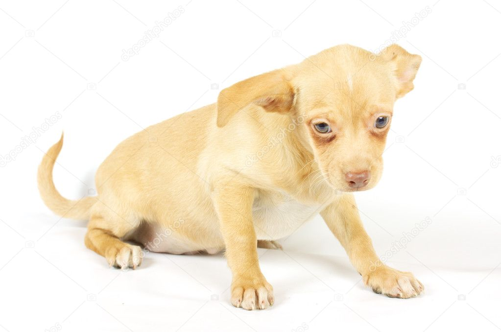 Small chihuahua puppy on the white background   #6332811