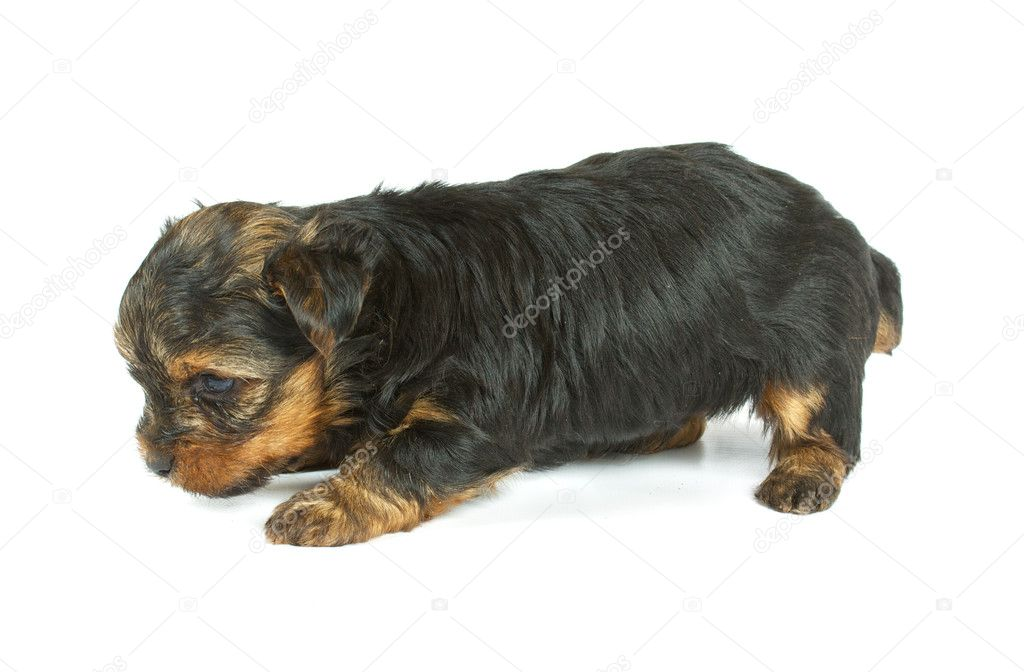 Cute pretty Yorkshire terrier puppy dog sitting. isolated on white background — Stock Photo #6332819
