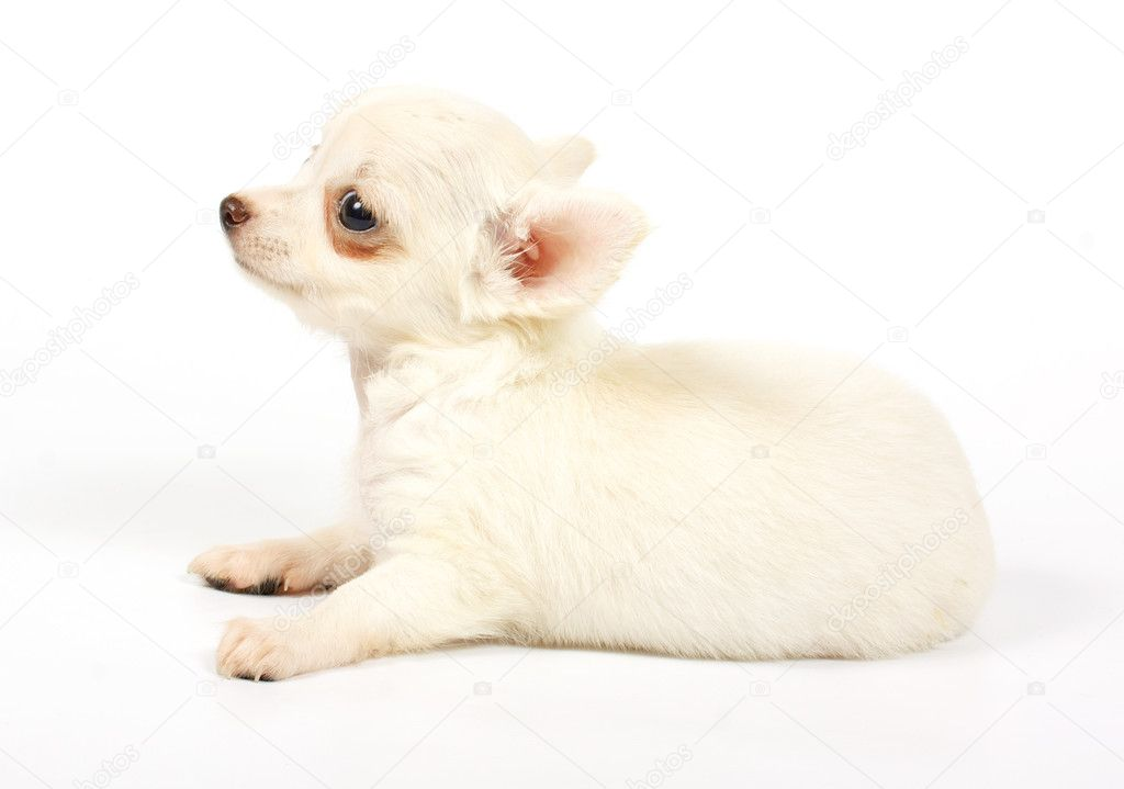 Small chihuahua puppy on the white background — Stock Photo #6332820