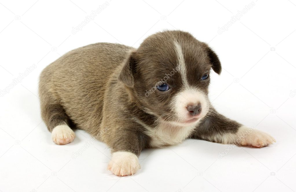Small chihuahua puppy on the white background — Stock Photo #6332826