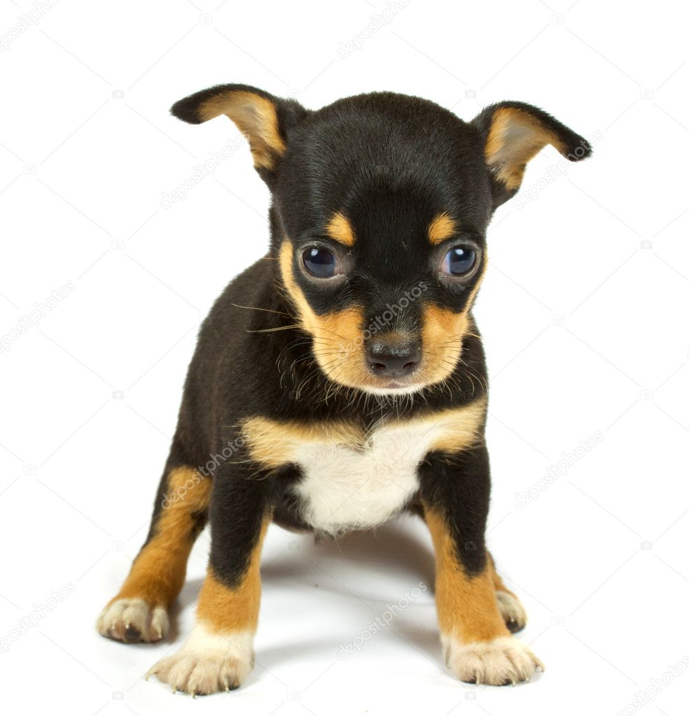 Small chihuahua puppy on the white background — Stock Photo #6332827