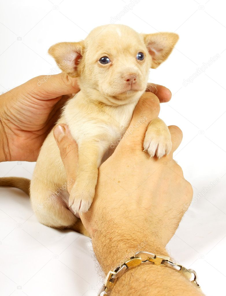 Small chihuahua puppy on the white background — Stock Photo #6332838