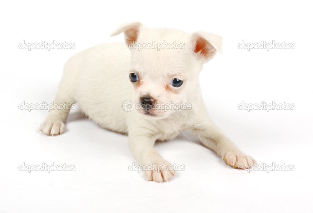 Small chihuahua puppy on the white background  Stock Photo #6332840
