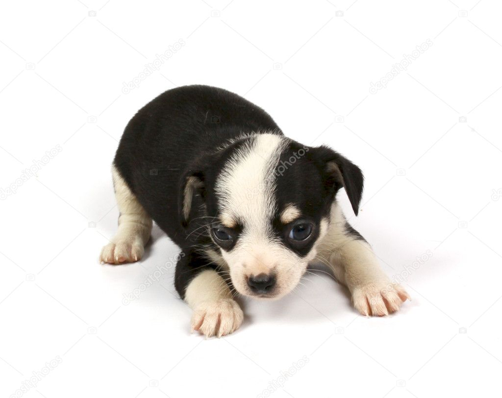 Small chihuahua puppy on the white background — Stock Photo #6332842