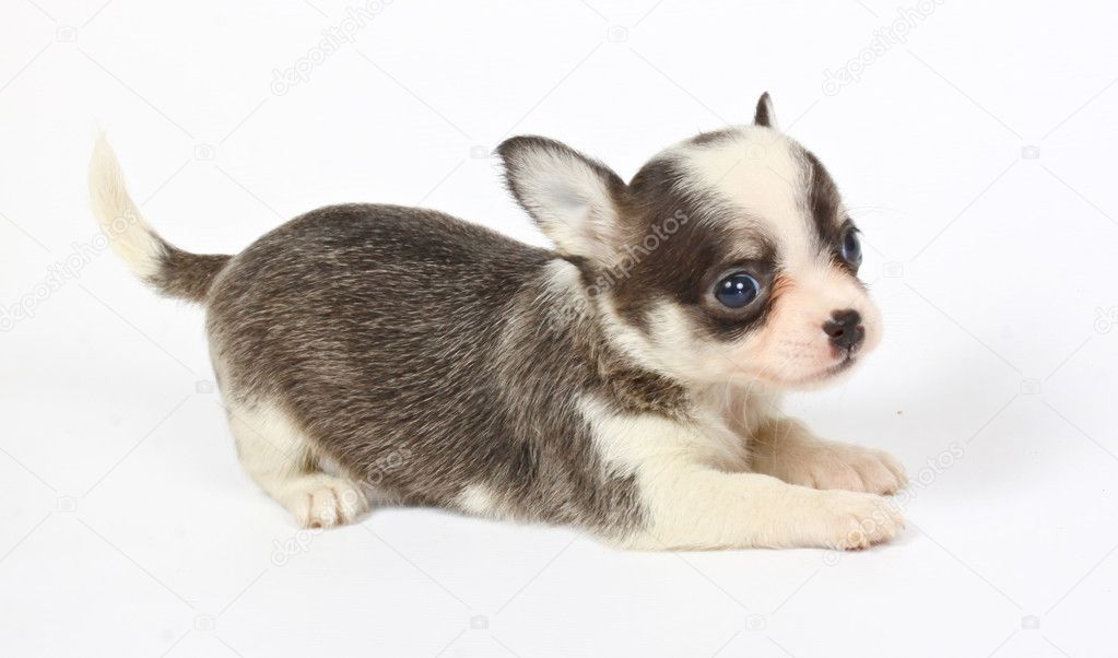 Small chihuahua puppy on the white background — Stock Photo #6332845