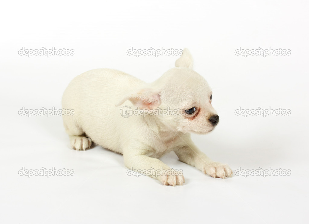 Small chihuahua puppy on the white background — Stock Photo #6332847