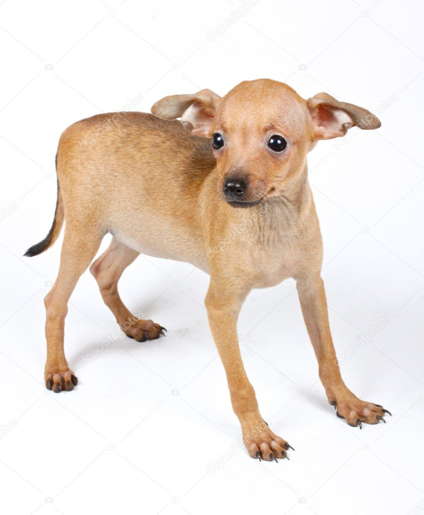 Small chihuahua puppy on the white background — Stock Photo #6332849