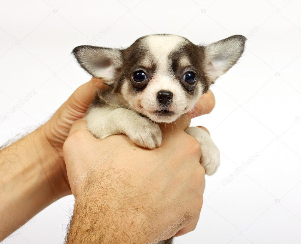 Small chihuahua puppy on the white background — Stock Photo #6332852