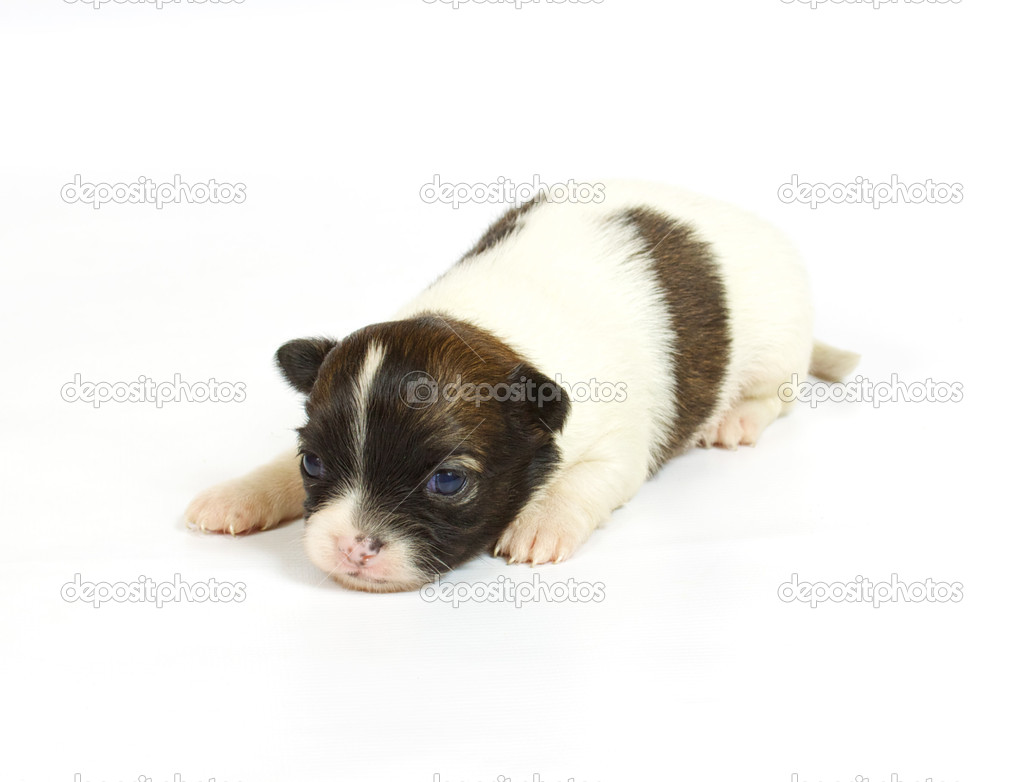 Small chihuahua puppy on the white background — Stock Photo #6332858