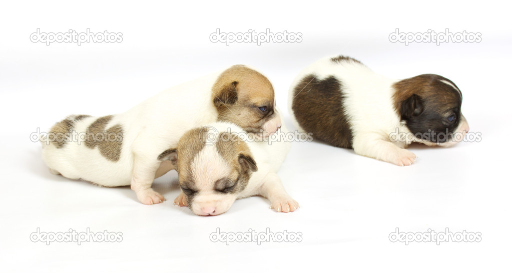 Small chihuahua puppy on the white background — Stock Photo #6332859