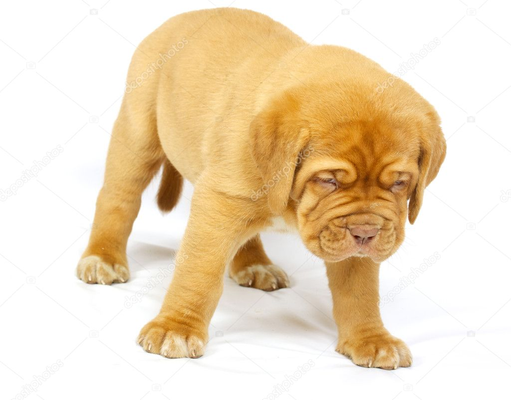 Bordeaux dog puppy on the white background  Stock Photo #6332861